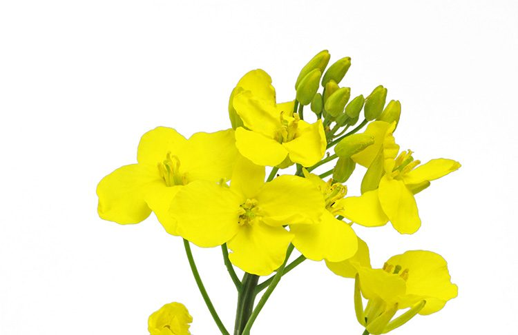 Is Canola a Vegetable?